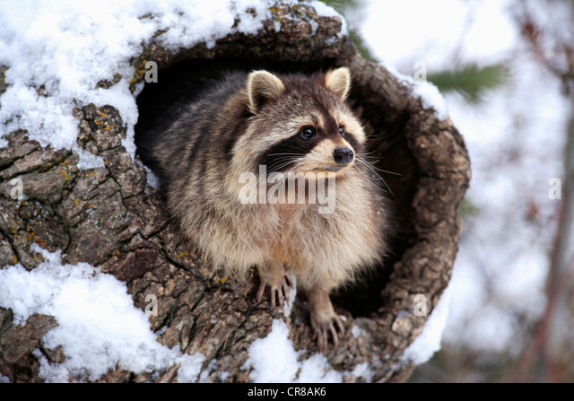 Raccoon (Procyon lotor), den, snow, winter, Montana, USA - Stock Image