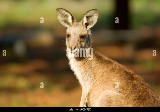 an eastern gray kangaroo in natural habitat up close - Stock Image