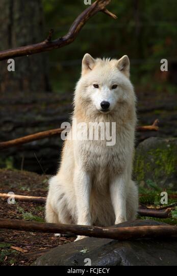 Grey wolf, Northwest Trek Wildlife Park, Washington. - Stock Image