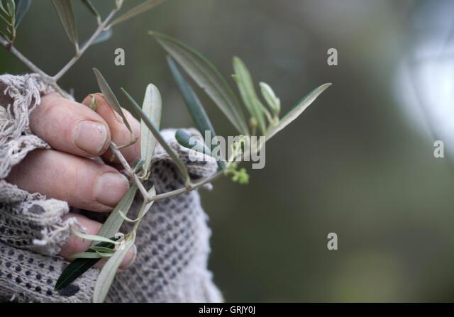 Organic farmer Diego Sanchez holds an olive tree branch in his organic farm in Prado del Rey, Cadiz, Andalusia, - Stock Image