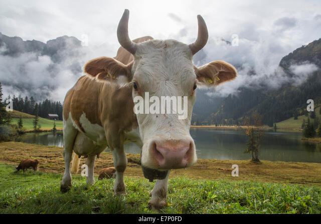 Lauenensee, cows, mountain lake, cow, cows, agriculture, animals, animal, canton Bern, Bernese Oberland, Switzerland, - Stock Image