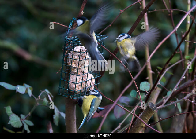 Burton Lazars. 27th Dec, 2017. UK Weather: Snow fall chilly afternoon Blue tits feed on high proteen fat balls Blue - Stock Image