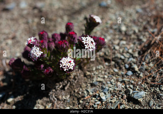 Closeup Photo Mountains Flowers Himalayas.Beautiful End Summer Season Background.Horizontal.No body Image - Stock Image