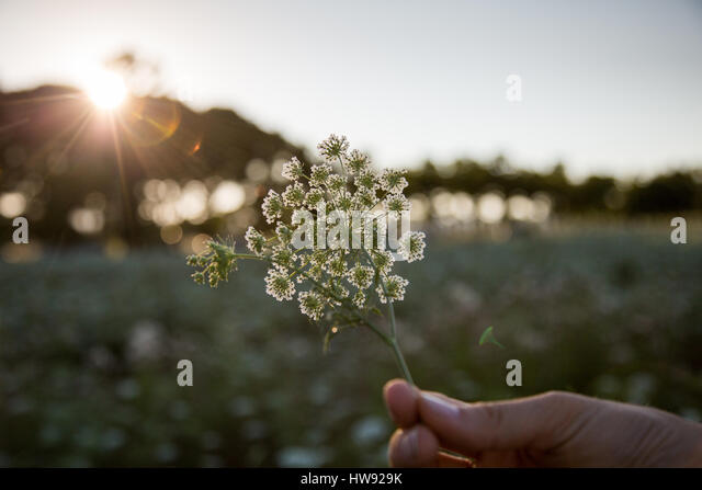 Hand holding bunch of wildflowers - Stock Image