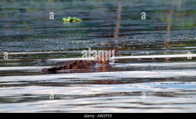 Costa Rica crocodile swimming in river Tortuguero area mouth open showing teeth - Stock Image