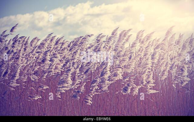 Retro vintage filtered dry reeds nature background. - Stock Image