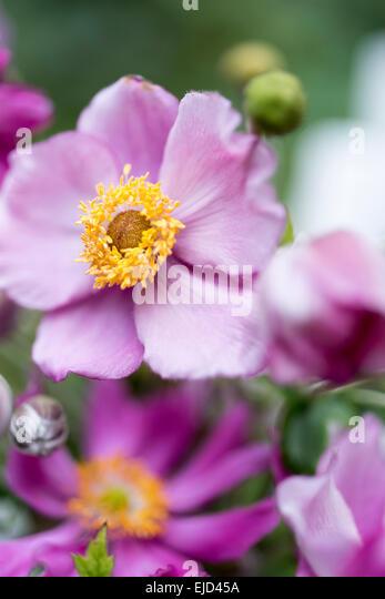 Japanese anemone, Windflower, Anemone hupehensis var. japonica 'Pamina' - Stock Image