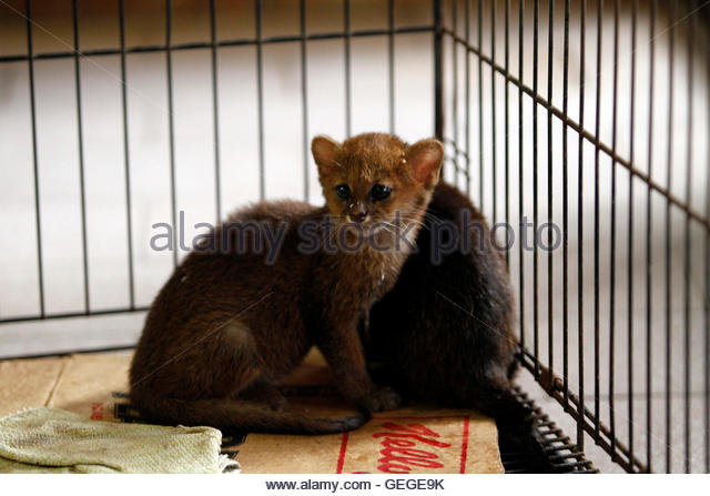 Two two-month old Pumas Jaguarundi cubs (Puma yagouaroundi) are displayed at AMARTE Foundation in Managua January - Stock Image