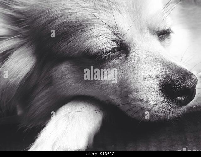The Sleeping Face of Chihuahua Long Hair Dog - Stock-Bilder
