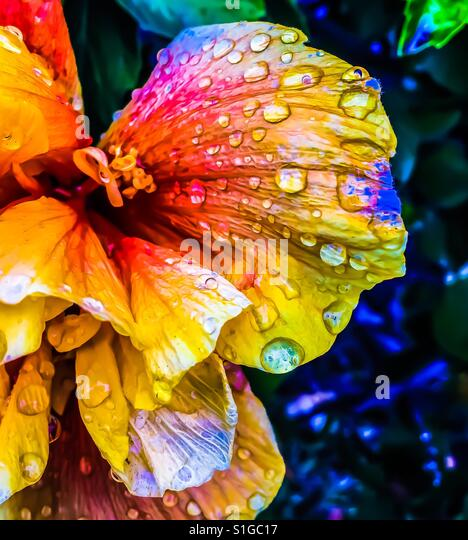 Rainbow flower with drops of water on petals - colorful diversity - Stock-Bilder