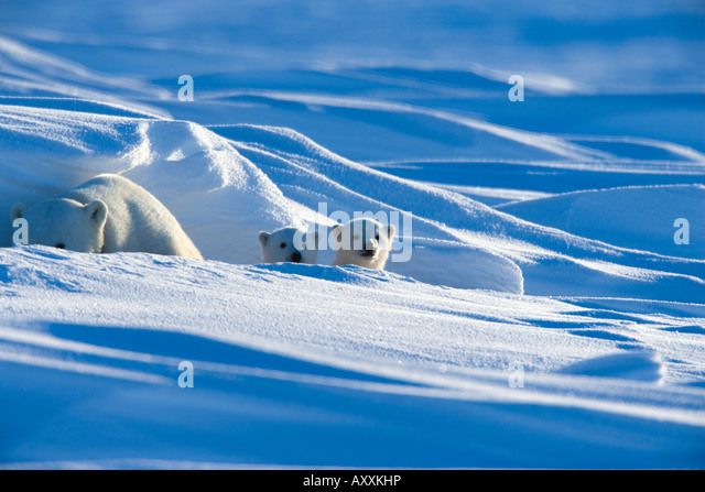 Polar Bear with cubs, (Ursus maritimus), Churchill, Manitoba, Canada - Stock Image
