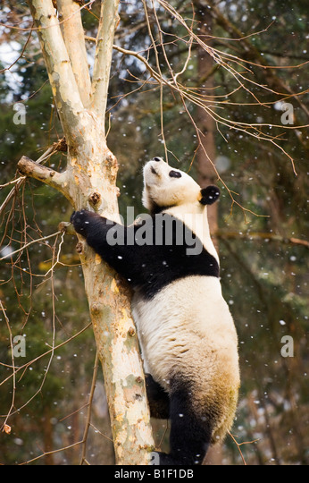 Giant Panda climbing a tree Woolong China - Stock Image