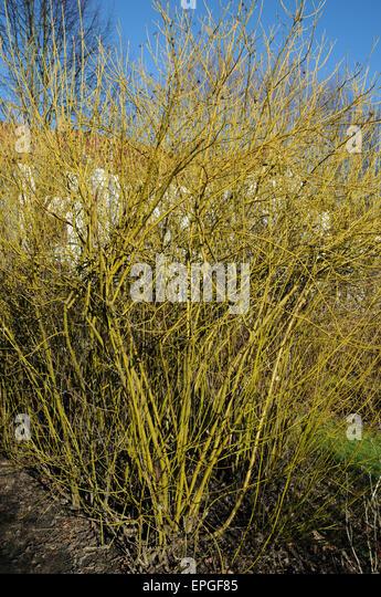 Cornus flaviramea stock photos cornus flaviramea stock for 7194 garden pond