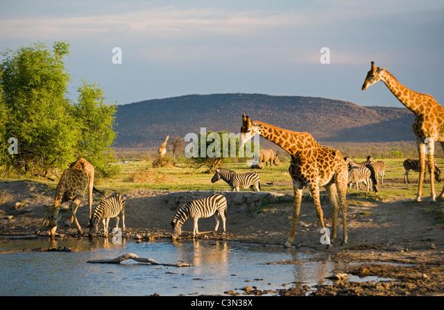 South Africa, Madikwe National Park Giraffe,Ceratotherium simum Burchell's Zebra, Equus burchelli, drinking - Stock Image