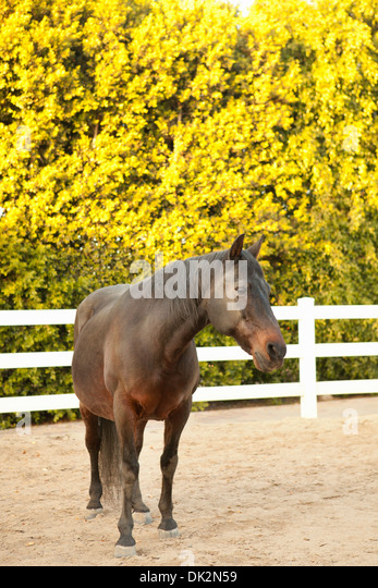Brown horse in corral with white fence - Stock Image