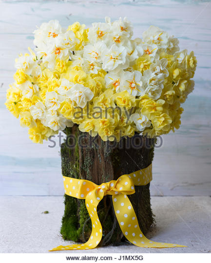 NARCISSUS 'CHEERFULNESS'  'SIR WINSTON CHURCHILL' AND 'BRIDAL CROWN' IN BARK BASKET' - Stock Image