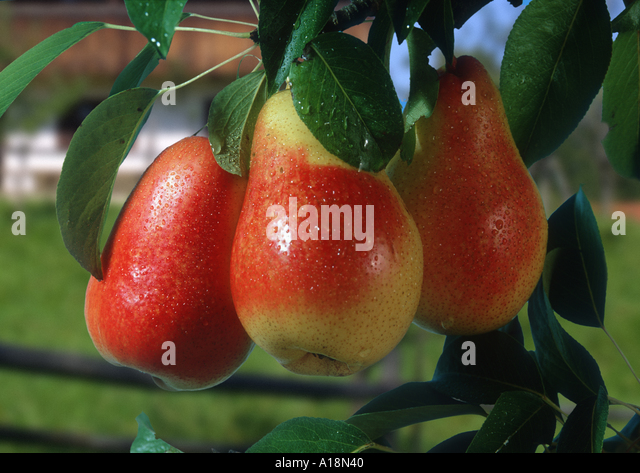 common pear (Pyrus communis), Williams, mature fruits at twig. - Stock Image