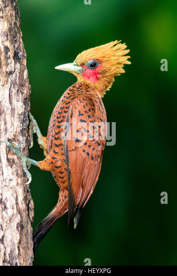 Chestnut-colored Woodpecker male (Celeus castaneus) - Boca Tapada, San Carlos, Costa Rica - Stock Image