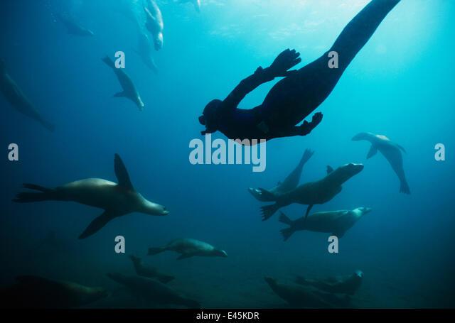 Free diver swimming amongst Californian sealions (Zalophus californianus) Anacapa Island, California, Pacific Ocean - Stock Image