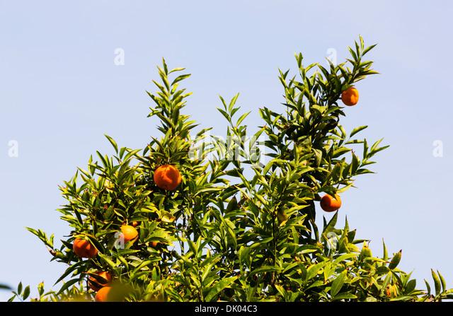 Orange tree with fruit. Cyprus. - Stock Image