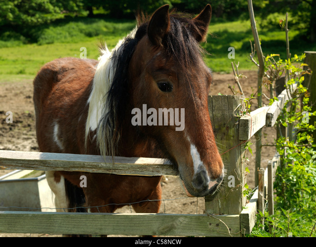 Brown White Horse Standing Fence Stock Photos & Brown ...