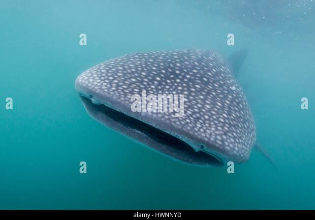Philippines, Luzon, Sorsogon Province, Donsol, whale shark (Rhincodon typus) in plankton-saturated waters - Stock-Bilder