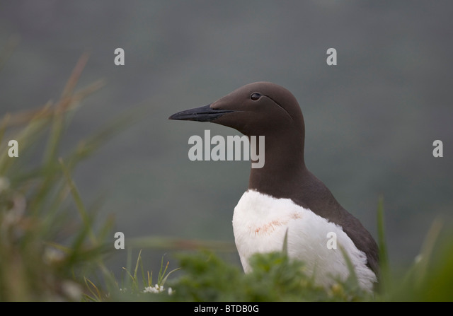 Common Murre on Saint Paul Island, Pribilof Islands, Bering Sea, Southwest Alaska - Stock Image