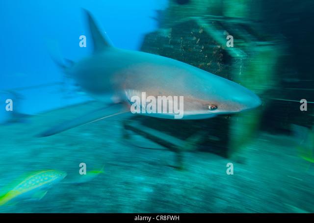 Caribbean Reef Shark and Wreck - Stock Image