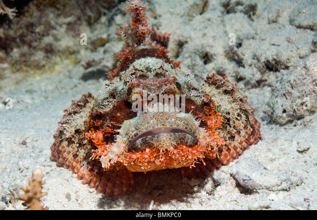 Tassled scorpionfish on sandy bottom.  Egypt, Red Sea. - Stock Image