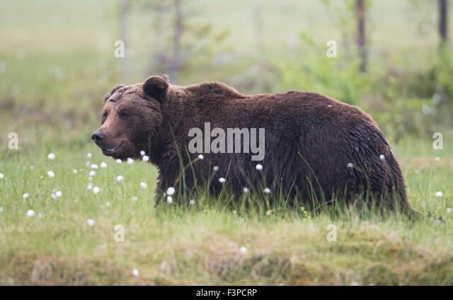 Close up phot on Brown bear, Ursus arctos walking in grass with Cotton grass, Kuhmo, Finland - Stock Image