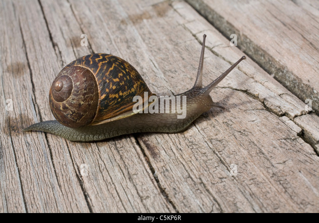 mollusc, invertebrate, animal, animals, snail, snail's pace, slow progress, shell, spiral, trail, crossing, - Stock Image