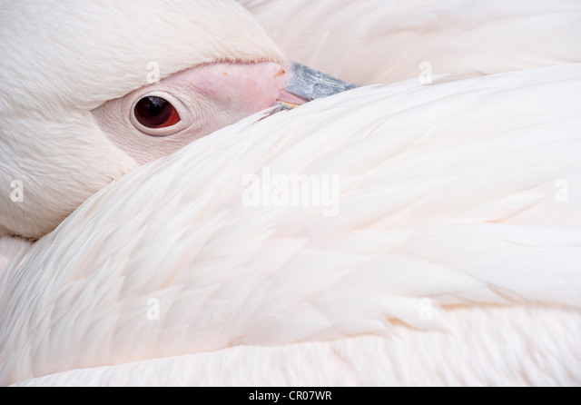 Great white pelican (Pelecanus onocrotalus), Basel Zoo, Switzerland, Europe - Stock Image