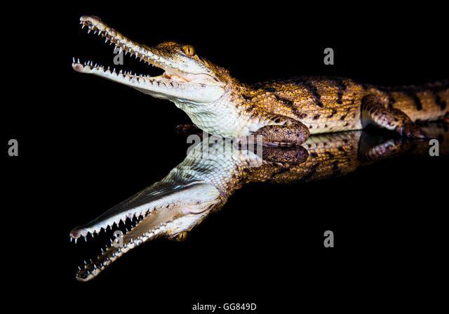 Fresh water crocodile - native animal in northern Australia, studio, reflection - Stock-Bilder