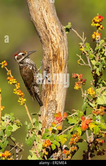 Arizona Woodpecker  Picoides arizonae  Madera Canyon, Santa Cruz County, Arizona, United States 18 May      Adult - Stock Image