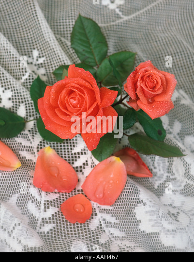 Rose Still Life - Stock Image