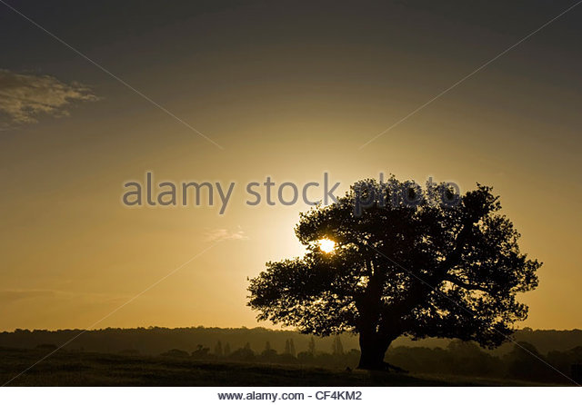 Silhouette of ancient English oak tree in Richmond Park at sunrise in autumn. - Stock-Bilder