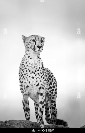 Cheetah in West Midlands Safari Park - Stock-Bilder
