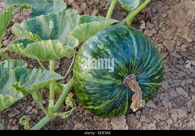 Mature Kabocha squash on vine, 'Cucurbita maxima', also known as Japanese pumpkin. - Stock Image