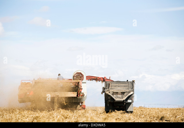 Potato harvest, Colorado, USA - Stock Image