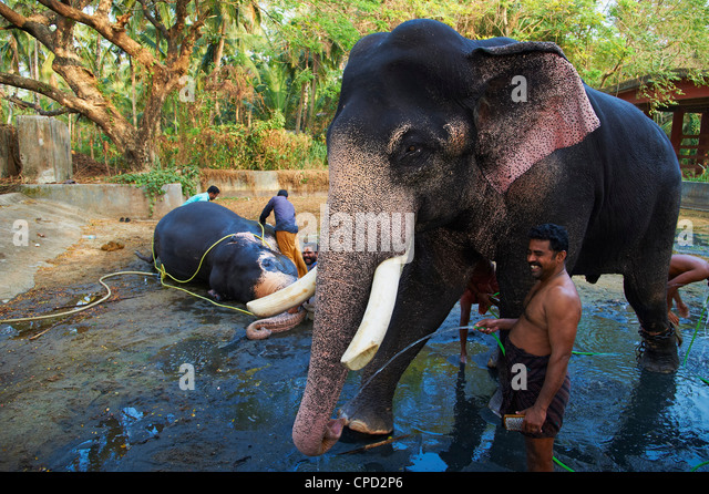 Guruvayur, elephant center, training for the temple parade, Kerala, India, Asia - Stock Image