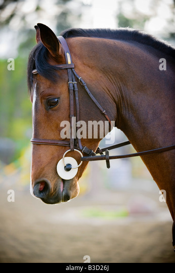 Brown horse with bridle, close-up - Stock Image
