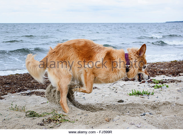 domestic dog (Canis lupus f. familiaris), digging on the beach, Germany - Stock Image
