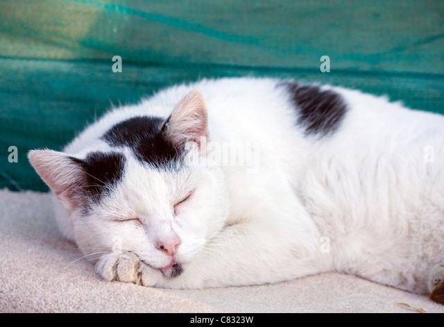 Domestic cat Single adult sleeping outside UK - Stock Image