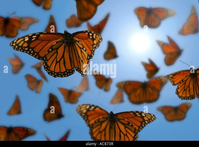 Monarch butterfly (Danaus plexippus). Swarm in flight. Mexico - Stock-Bilder