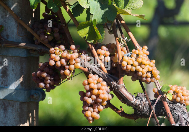 Grapes in a Vineyard - Stock Image