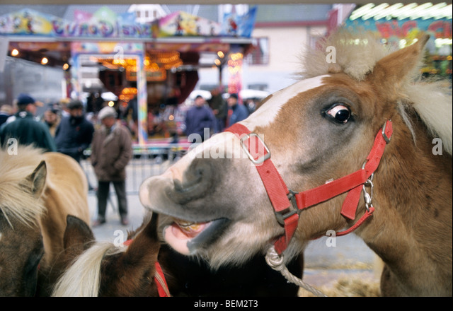 Cattle dealers and close up of horse at horse fair - Stock Image