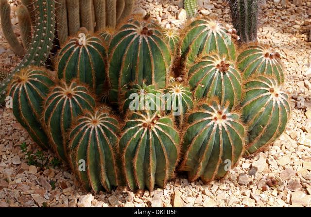 Cactus, Parodia magnifica, Cactaceae. Southern Brazil, Uruguay, South America. - Stock Image