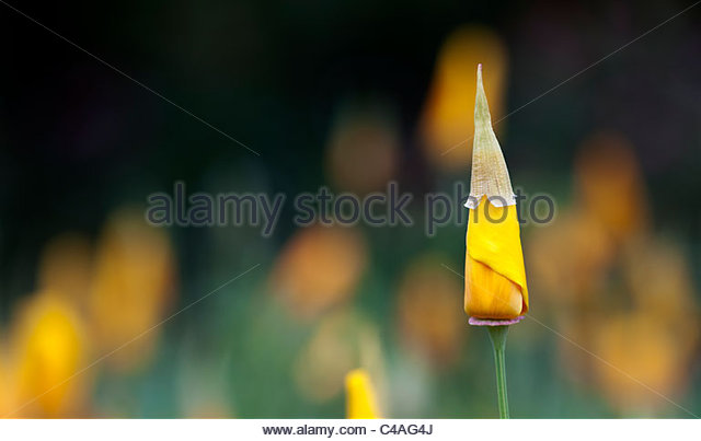Eschscholzia californica, Californian poppy, emerging from bud - Stock Image
