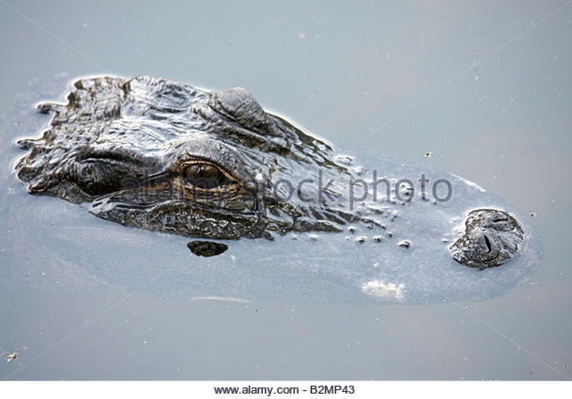 Indiana Valparaiso Zao Island Entertainment Center alligator animal reptile water head eyes float predator wildlife - Stock Image