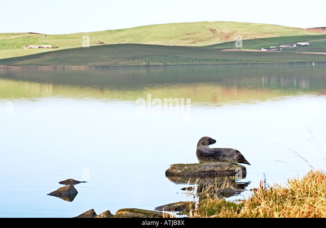 Grey seal basking on rock in the tidal Loch of Stenness, Mainland, Orkney, Scotland. Summer - Stock Image